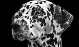 chien 13